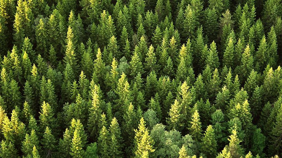 Pine_forrest